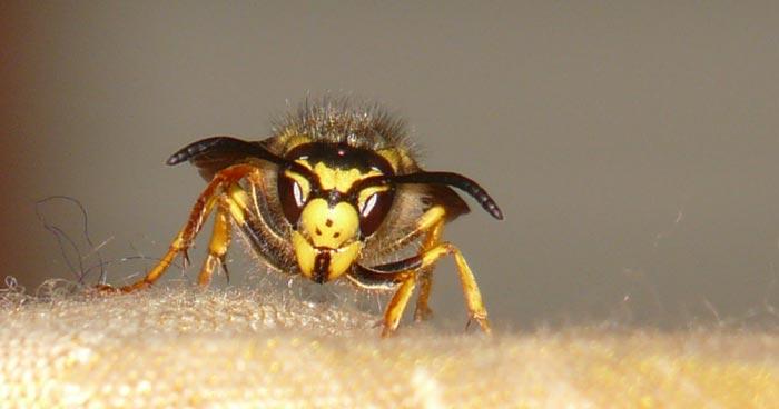 Woher kommen so viele Wespen?